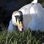 Grazing swan