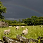 Rainbow Sheeprush