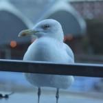 Brighton Gull